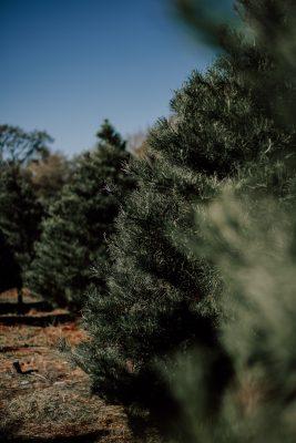Christmas tree farm traditions