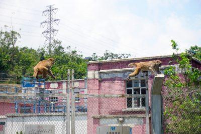 monkeys crossing barbed wire in Hong Kong.