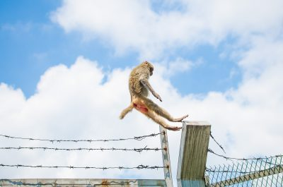 Jumping monkey on Monkey Mountain in Hong Kong