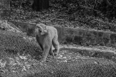 walking monkey on monkey hill